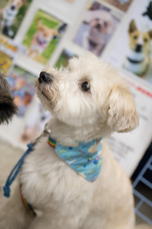 保護犬 白犬1匹★960