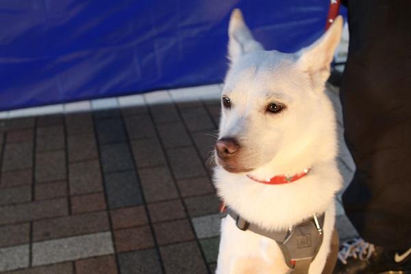 白犬6HP用